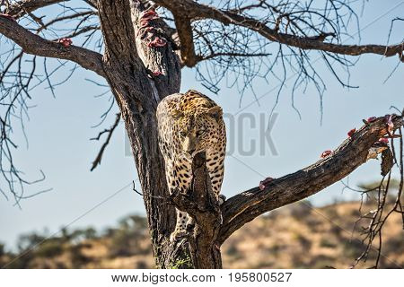An African spotted leopard climbed a tree. The pieces of meat for him are laid out on the branches. Travel to Namibia. Leopard feeding. The concept of exotic and extreme tourism
