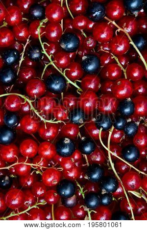 Currant black and red. Berries background. Fresh organic currant from village garden. Ecological berries for desserts smoothie or jam.