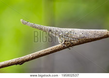 Image of lantern bug or zanna sp on the branches on a natural background.. Insect Animal