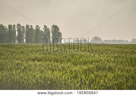 Ears of barley in a field of cultivation agriculture in italy.