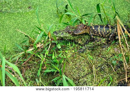 Two young Alligator hatchlings in a swamp.