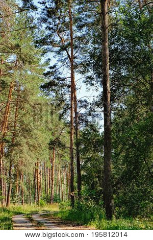 Open rural road in future through green forest trees pines spruces.