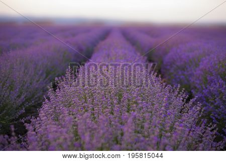 Lavender Fields. Rows Of Lavender Plants Blossoming