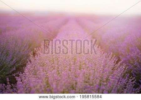 Close Up Of Lavender. Lavender Fields. Rows Of Lavender Plants Blossoming. Vintage Filter Tinted, Su