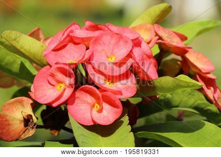 Euphorbia milli crown of thorns in nature