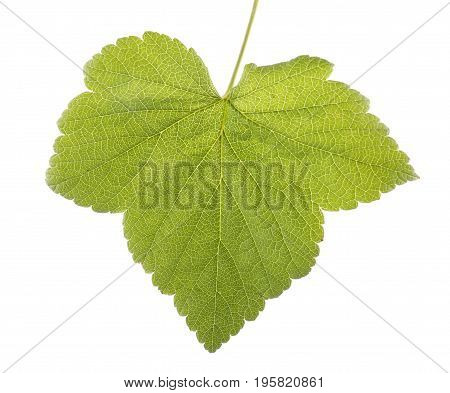 Close-up of green and fresh leaf from a currant tree, isolated on a white background. Currant leaf. Summer leaves. Spring bright green leaf.
