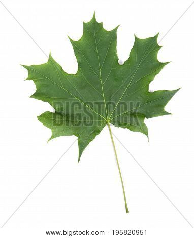 Fresh and bright green maple leaf, isolated on white background. Summer plants. Green maple leaves. Close-up of green and fresh leaf from a maple tree.