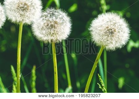 Dandelion flower with sunlight - Freedom to Wish. Nice bokeh