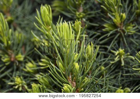 Branches of decorative needle pine green background