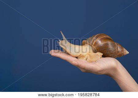 Female hand with giant Achatina snail on color background