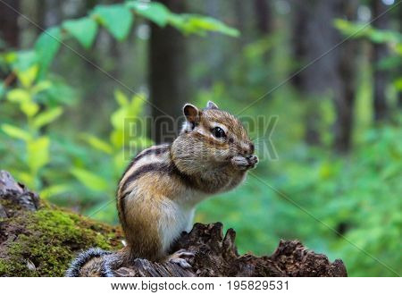 Chipmunk on the tree stuffs his cheeks with nuts