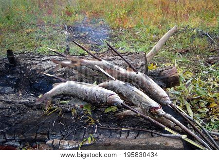Taimyr. Preparation of fish at the stake in the tundra.