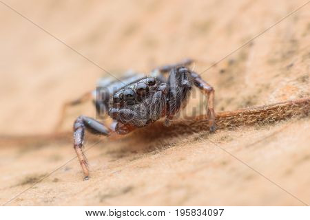 Super macro Jumping spider on dried leaf