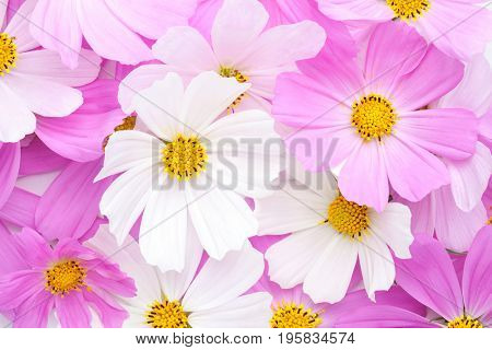 Floral background with  light pink and white Cosmos flowers. Flat lay.