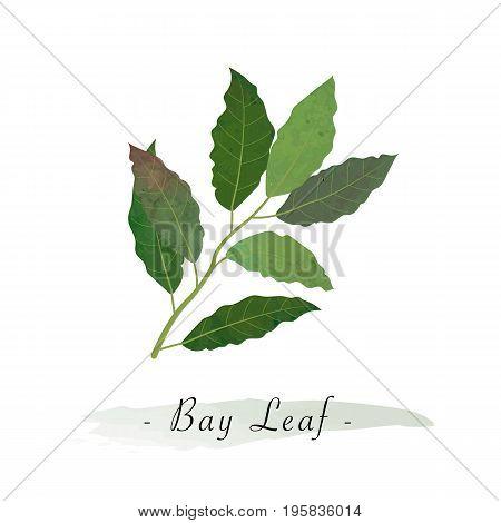 Colorful Watercolor Texture Vector Healthy Vegetable Bay Leaf