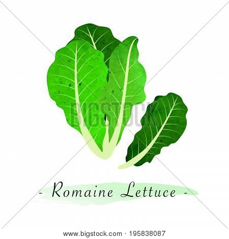 Colorful Watercolor Texture Vector Healthy Vegetable Romaine Lettuce