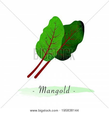 Colorful Watercolor Texture Vector Healthy Vegetable Mangold Swiss Chard Leaf