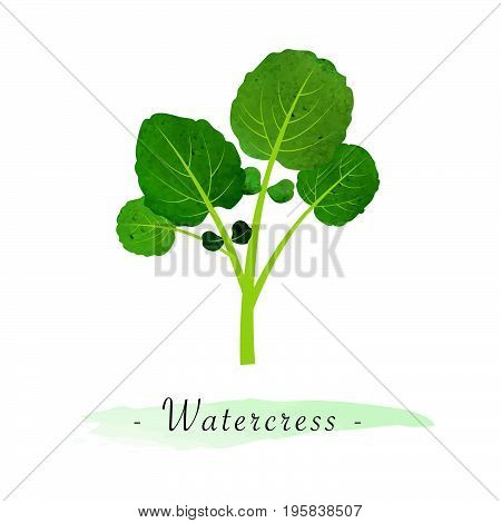Colorful Watercolor Texture Vector Healthy Vegetable Watercress