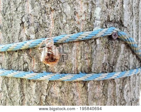tree trunk with blue rope and shedded cicada skin