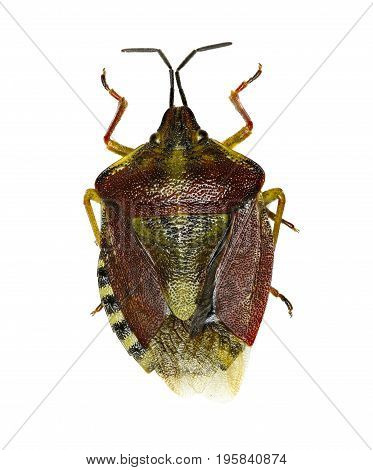 Black-shouldered Shield Bug on white Background - Carpocoris purpureipennis