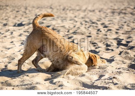 Labrador retriever dog on beach. Dog on the sand near the river. Red-haired retriever lying in the sand
