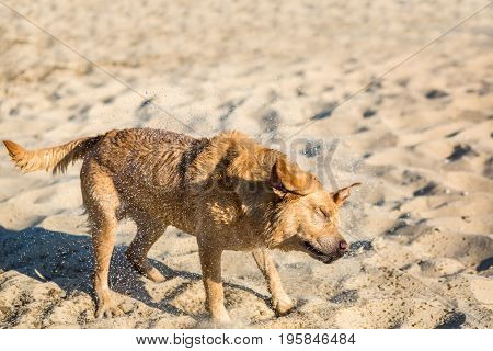 Labrador retriever dog on beach. Dog on the sand near the river. Red Labrador Shakes Off Water