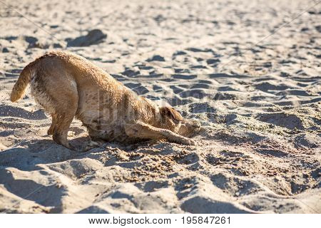 Labrador retriever dog on beach. Happy Dog on the sand near the river. Red-haired retriever lying in the sand