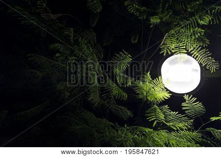 Mimosa tree lush green branches with fern like leaves with street light  at night from low angle
