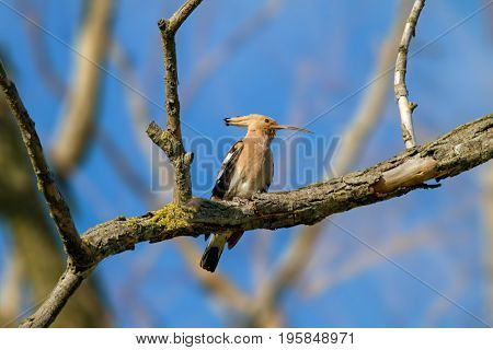 Image of an animal wild hoopoe on a branch