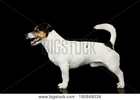 Jack Russell Terrier Dog Standing isolated on Black background, side view