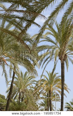 Upper part of palm trees at the promenade at the beach of marbella Andalusia Spain