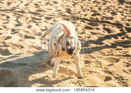 Labrador retriever dog on beach. Dog on the sand near the river. Labrador Shakes Off Water