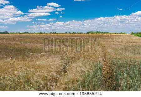 Summer landscape with blue cloudy sky unripe wheat field and track inside it central Ukraine