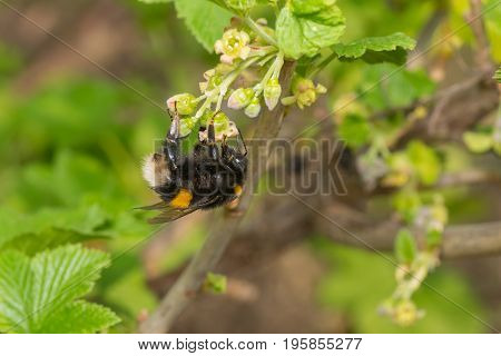 Cute bumblebee gathering nectar on a black currant flowers