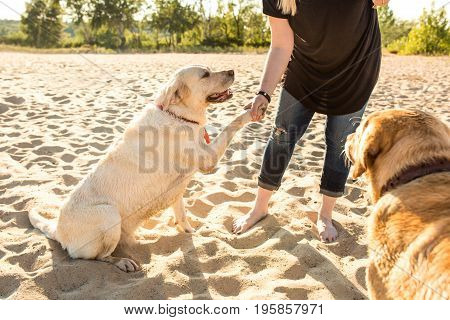 Two labrador friends playing on the beach. Two labradors on the sand with a young woman