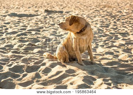 Labrador retriever on the beach. A red labrador sits on the sand