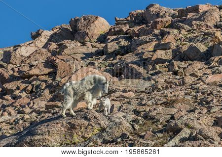 a nanny mountain goat and her cute kid