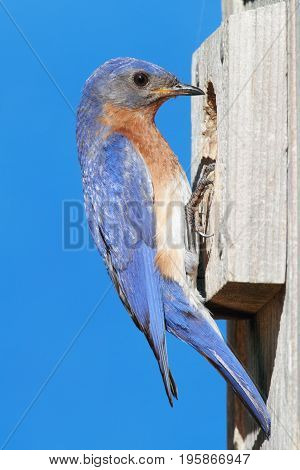 Female Eastern Bluebird (Sialia sialis) on a nest box