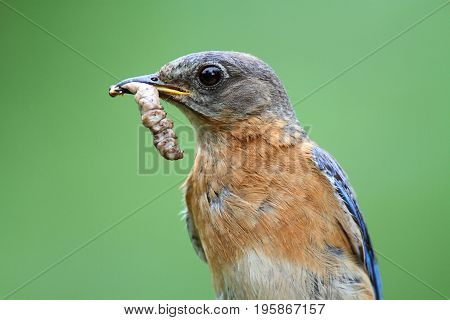 Female Eastern Bluebird (Sialia sialis) with an insect