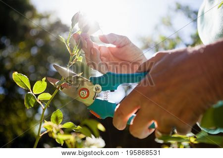 Close-up of senior woman cutting flower stem with pruning shears at backyard