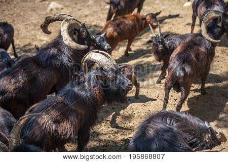 Wild Goats In The Tbilisi Zoo, Fauna