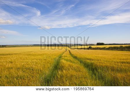 Barley Field With Tyre Tracks