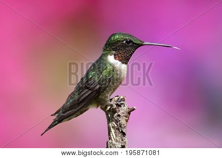 Ruby-throated Hummingbird (archilochus colubris) on a perch