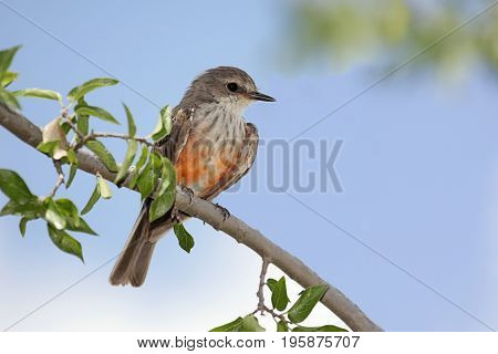 Immature male Vermilion Flycatcher (Pyrocephalus rubinus) on a perch with a blue sky background