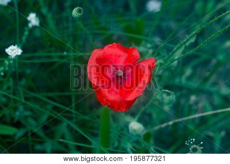 Lone Red poppy on green weeds field. Poppy flowers.Close up poppy head. red poppy