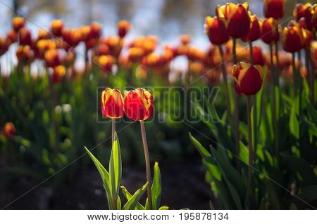 Two cute colorful tulips in front of a larger group.