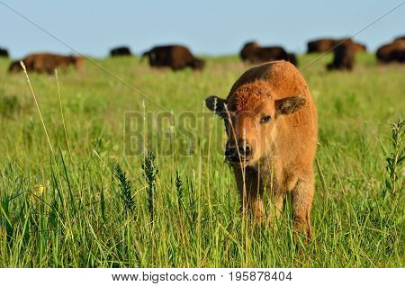 Baby American Bison with adult Bison herd in background
