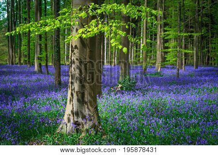 Magical Belgian Hallerbos turns into a sea of wild bluebells every spring. The fresh green leaves of the beech trees provide a colorful contrast.