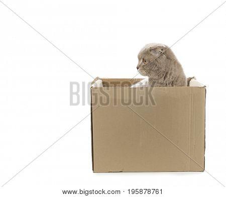 Scottish Fold in cardboard isolated on white background.