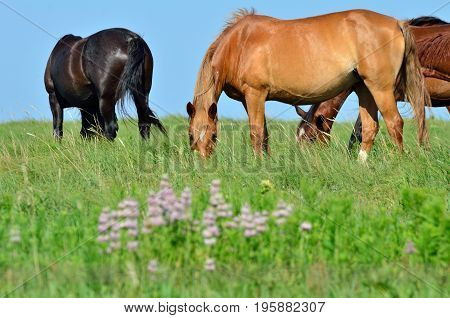 Wild mustangs graze on an open prairie full of wild flowers.